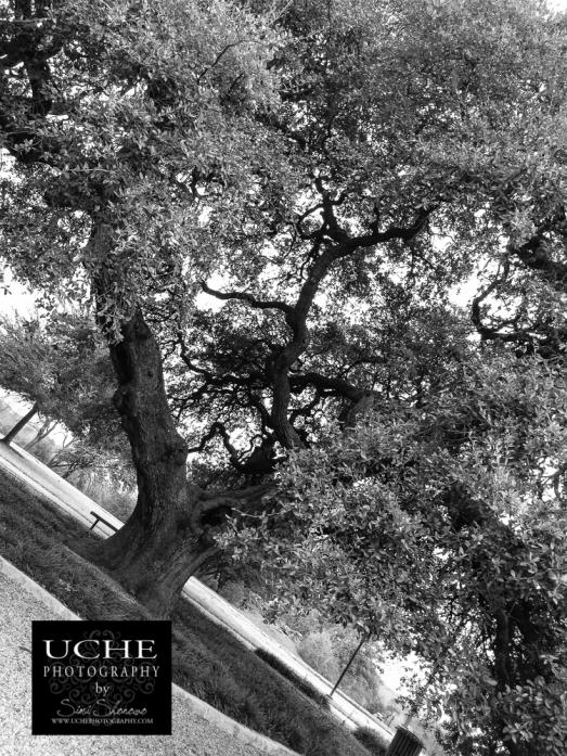 20150221.the giant oak tree.jpg