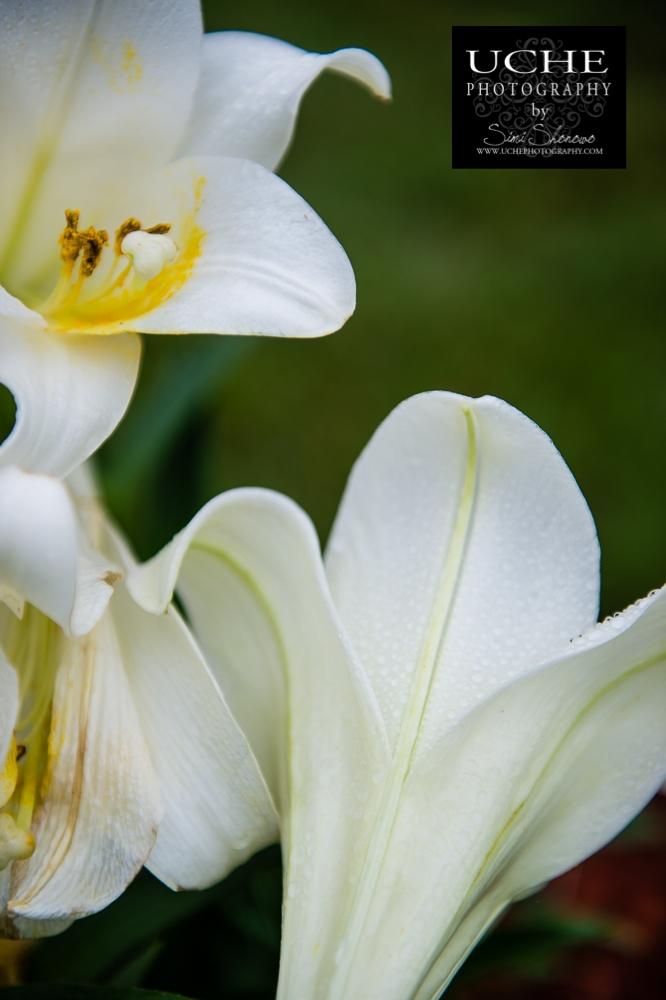 20150405.095.365.easter lilies.jpg