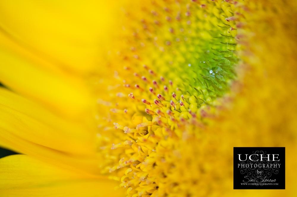20150407.097.365.sunflower diamond.jpg