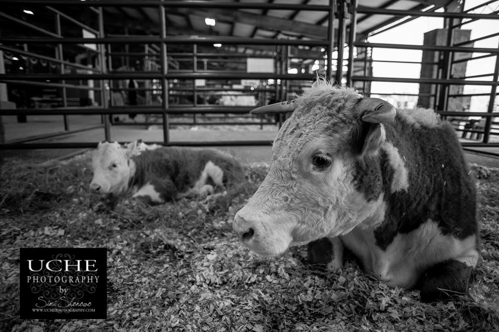 20160316.076.365.calf rest