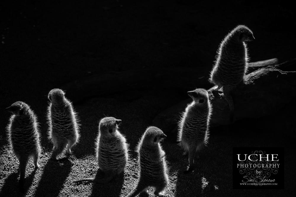 20160618.170.365.rim lit meerkats