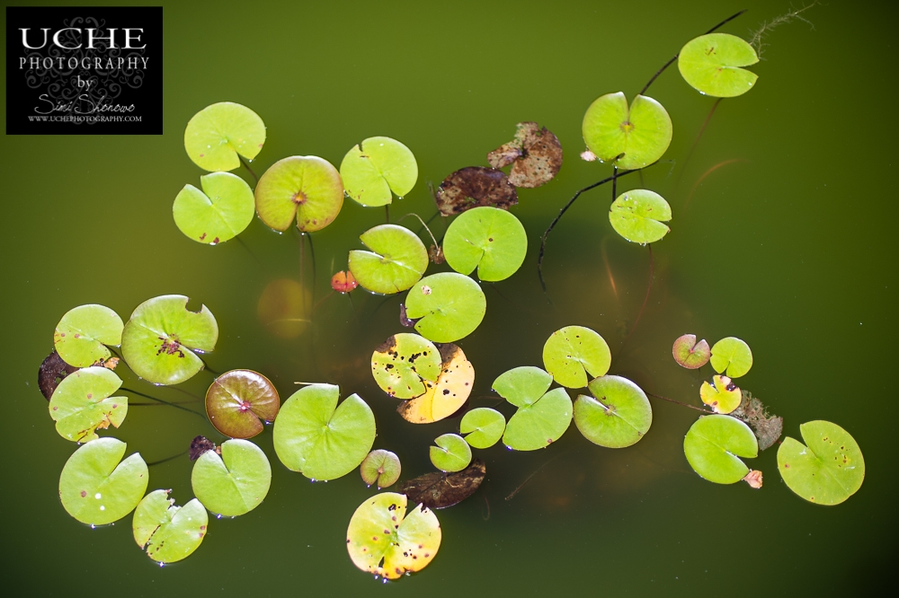 20160909.253.365.the lily pads spread